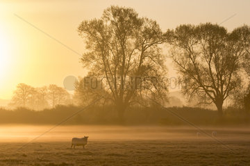 Sheep (Ovis aries) Sheep feeding in a meadow at sunrise  England  Spring