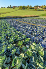 Green cabbage and red cabbage  Truck farming  Haute Savoie  France