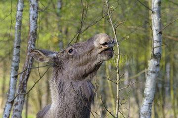European Moose (Alces alces) feeding  Germany  Europe