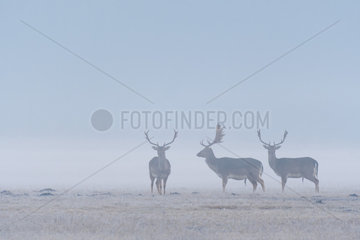 Fallow Deers (Cervus dama) on misty morning  Hesse  Germany  Europe
