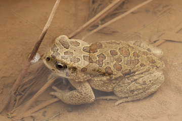 Berber toad (Sclerophrys mauritanica) in water  Morocco