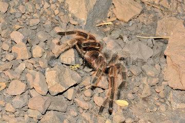 Tarantula (Phryxotrichus roseus)  Lo Valdes  Cajon del Maipo  Metropolitan Area of Santiago  Chile