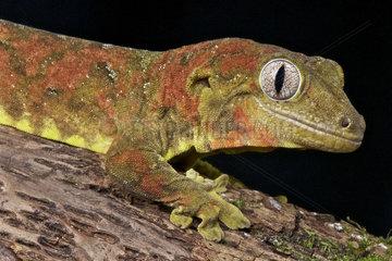 New Caledonian mossy gecko (Mniarogekko chahoua)  New Caledonia