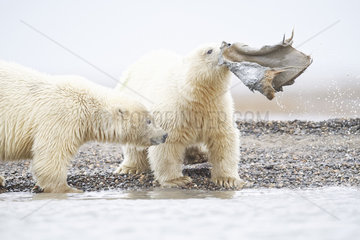 Polar bear (Ursus maritimus) young playing with whale remains  Barter Island  North of the Arctic Circle  Alaska.