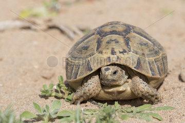 Souss Valley Tortoise (Testudo graeca soussensis)  Morocco