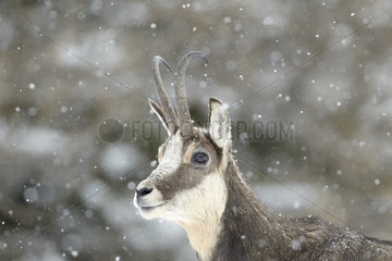 Portrait of Chamois in the snow - Mercantour Alpes France