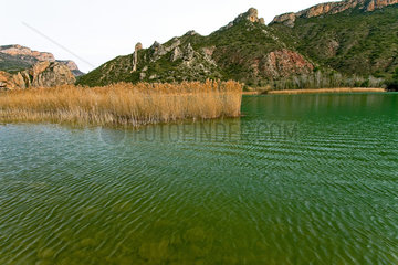 Common reeds growing in a lake of Catlonia - Spain