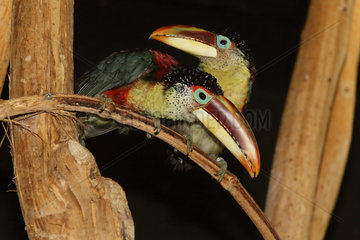 Curl-crested Aracari (Pteroglossus beauharnaesii) couple on a branch