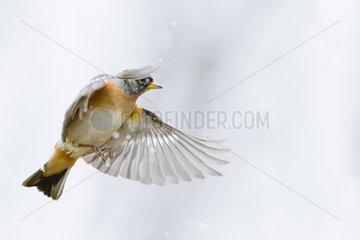 Brambling (Fringilla montifringilla) in flight in winter  Alsace  France
