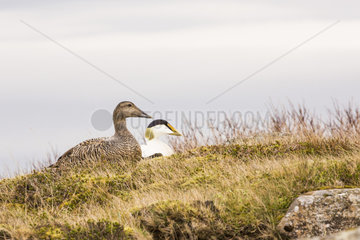 Common Eider (Somateria mollissima) couple at nest on a protected site for down harvest  Iceland