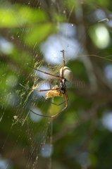 Edible golden silk spider on web - Ouvea New Caledonia