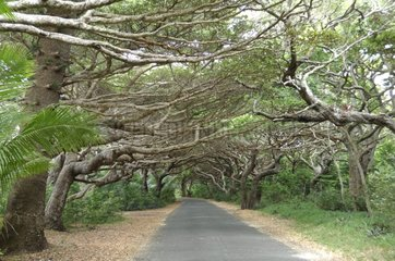 Tree-lined road - Isle of Pines New Caledonia