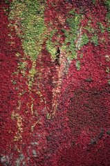 Mixed ivy scarlet and green crimson Baltica on a wall