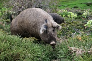 Corsican pig in the bush