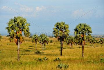 Palmyra palm trees in the savannah - Murchison Falls Uganda