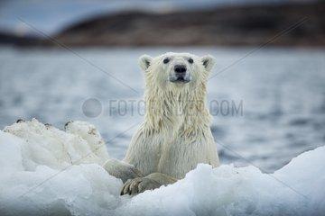 Polar Bear (Ursus maritimus) holding onto melting sea ice near Harbour Islands  Repulse Bay  Nunavut Territory  Canada