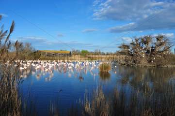 Greater Rosy Flamingos at rest in marshes - Camargue France