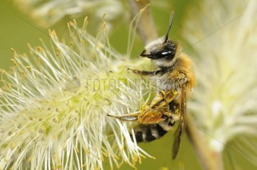 Mining Bee (Andrena gravida) female on Willow catkin (Salix caprea)  14 April 2015  Northern Vosges Regional Nature Park  France  ranked World Biosphere Reserve by UNESCO  France