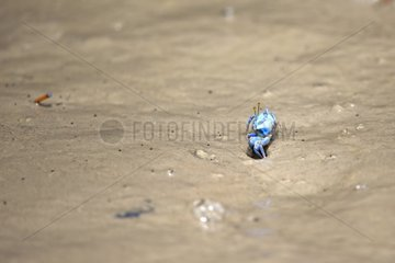 Blue fiddler crab in the mangroves - Malaysia Sarawak