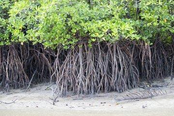 Mangroves along the Salak River - Sarawak Borneo Malaysia