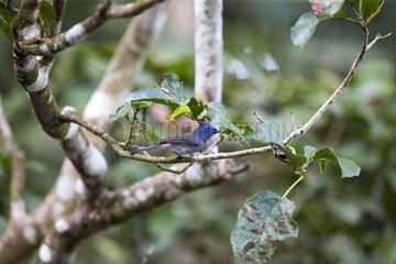 Blue Flycatcher on a branch - Sabah Malaysia