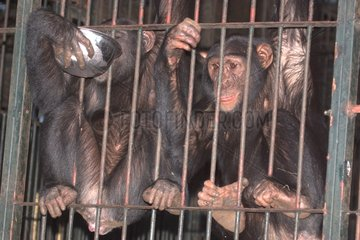 Chimpanzees clung to the bars of their cage Uganda