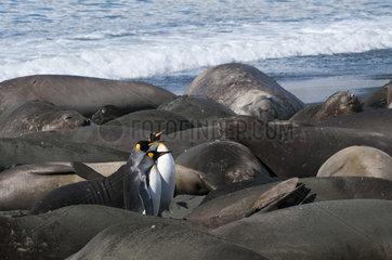King penguins and sea elephants - South Georgia