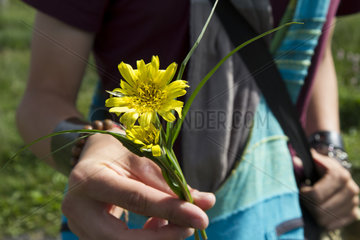 Picking Salsify meadows - Auvergne France