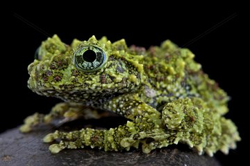 Mossy frog (Theloderma corticale)  Vietnam