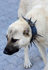 Turkey. Cappadocia. Dog with a collar to protect it against wolf.