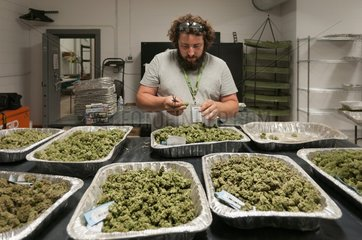 Marijuana being dried and cured at commercial grow. Pueblo  CO