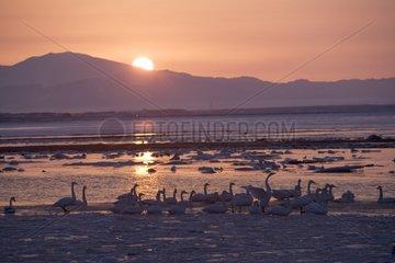 Awakening of Whooper Swans on a frozen lake at sunrise