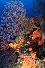 Gorgones et Eponges fixées sur un Récif Belize