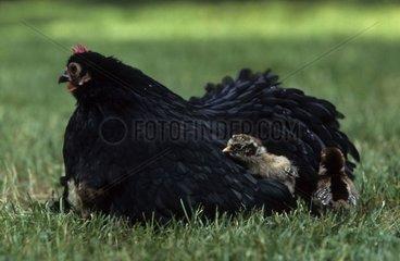 Hen and chicks Bantam de Pekin Black variety France