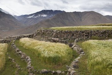Barley fields - Nubra Valley India Himalayas