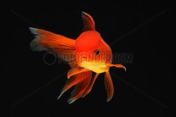 Goldfish 'red Oranda 'on black background