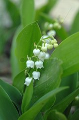 Lily-of-the-valley in bloom in a garden