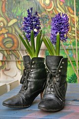 Hyacinths in bloom inside a pair of shoes