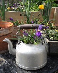 Crocus planted in a kettle