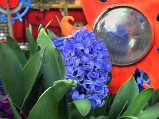 Hyacinths in bloom and decoration on a garden terrace