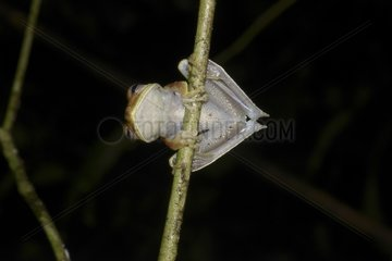 Tree Frog on a branch - French Guiana