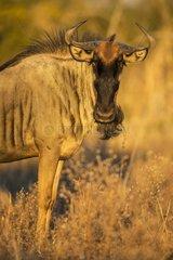 Portrait of Blue Wildebeest at dawn - Chobe Botswana