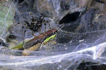 Prey taken in the web of a social Spider Gabon