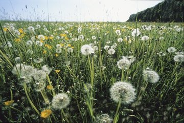 Dandelions whose akenes are disseminated with the wind