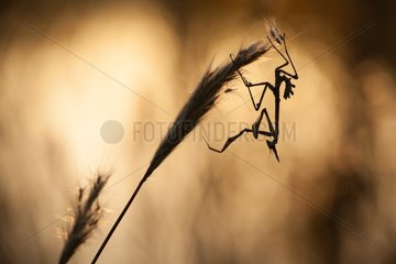 Conehead Mantis on dry grass in the scrubland - France