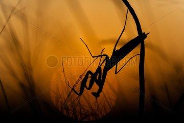 Praying mantis in the scrubland at sunset - France