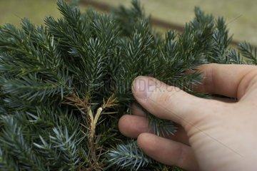 Cutting of a juniper in a garden