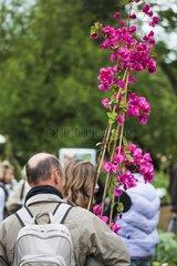 Shopping of bougainvillea in a garden show