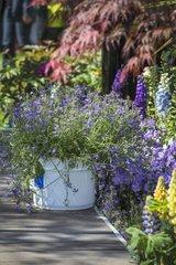 Scaevola in pot in a garden