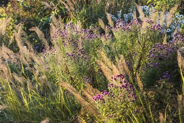 Feather grasses and asters in bud in a garden